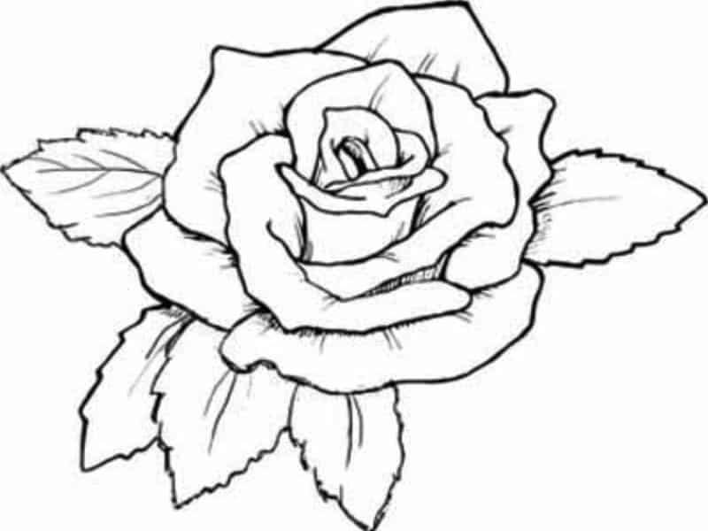 rosa pequena
