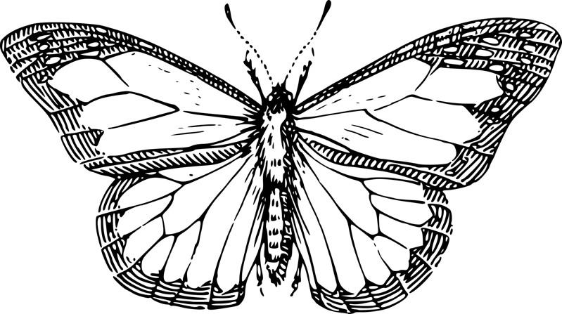 borboleta classica