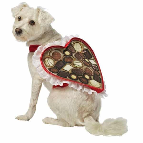 Cachorro com fantasia de caixa de chocolate