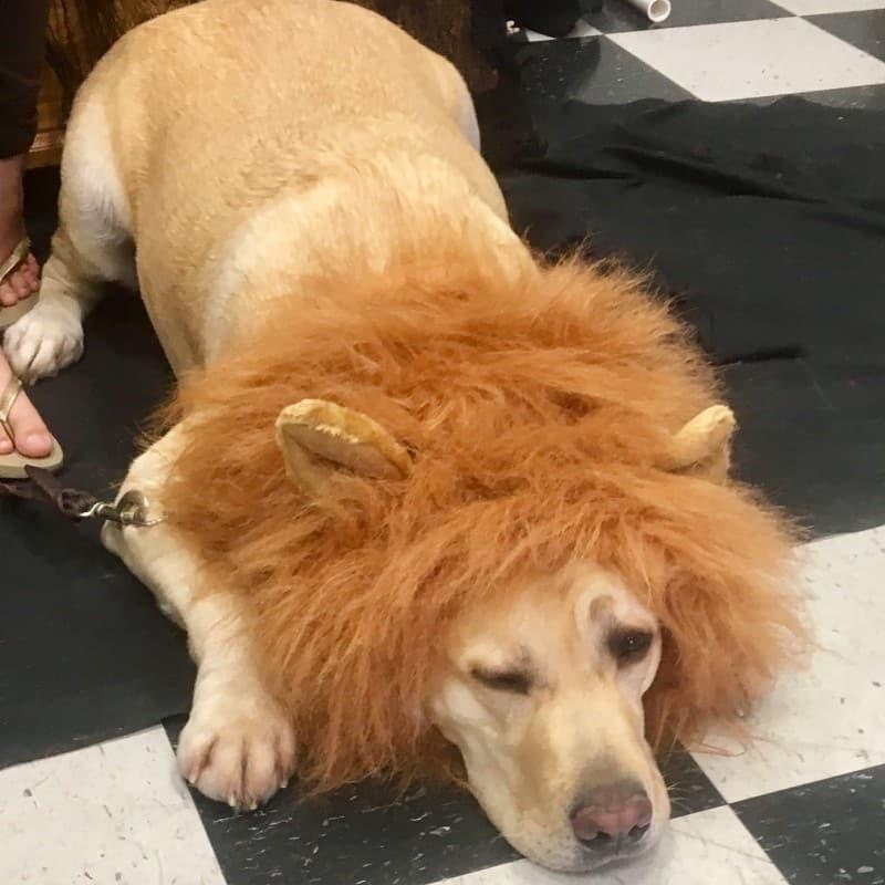 Cachorro com fantasia de leão