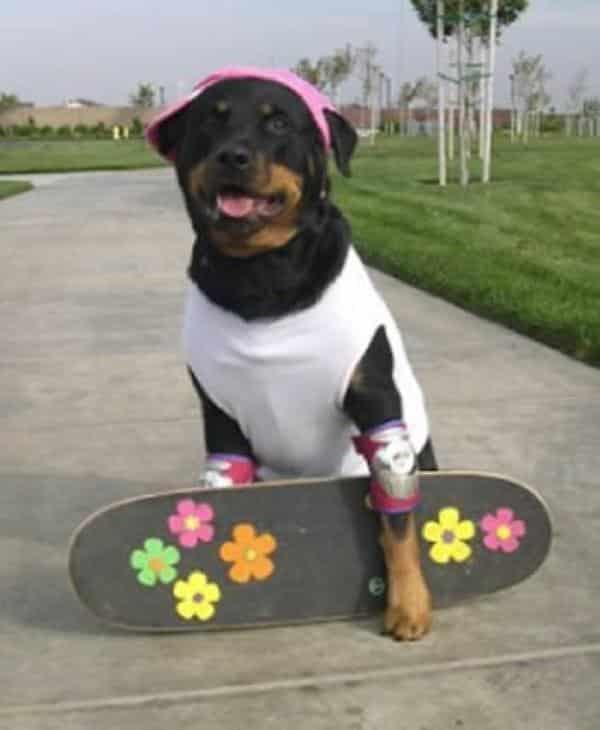 Cachorro com Fantasia de Skatista