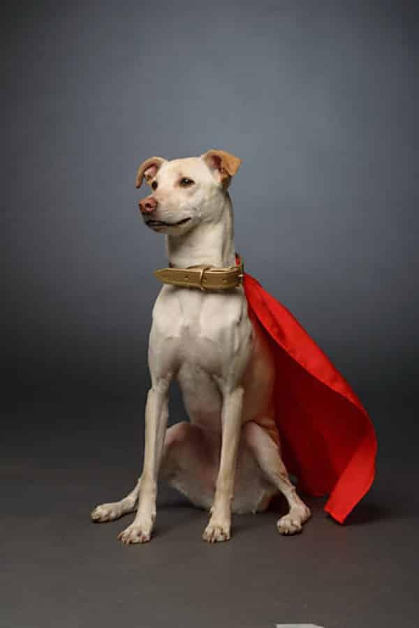 Cachorro com fantasia de super homem