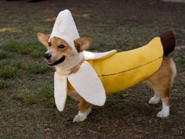 Cachorro com fantasia de banana