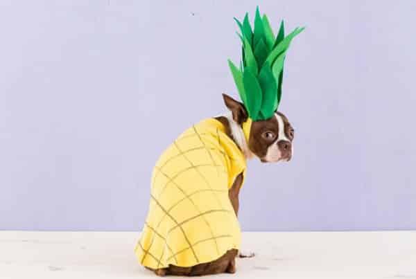 Cachorro fantasiado de abacaxi