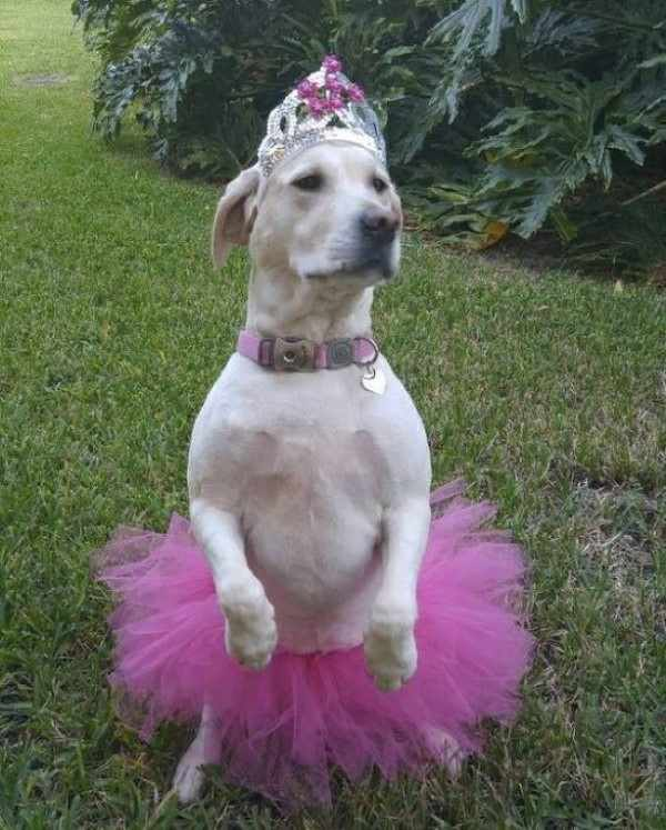 Cachorro fantasiado de bailarina