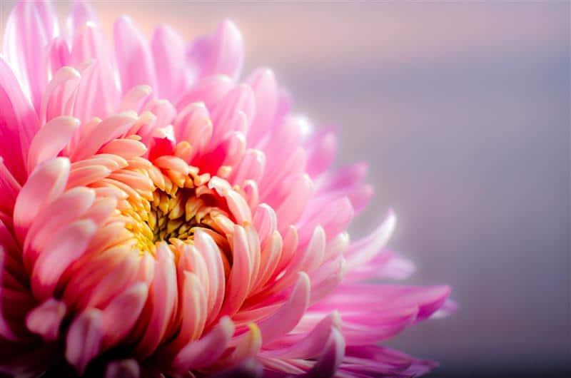 Crisântemo ou flor de ouro