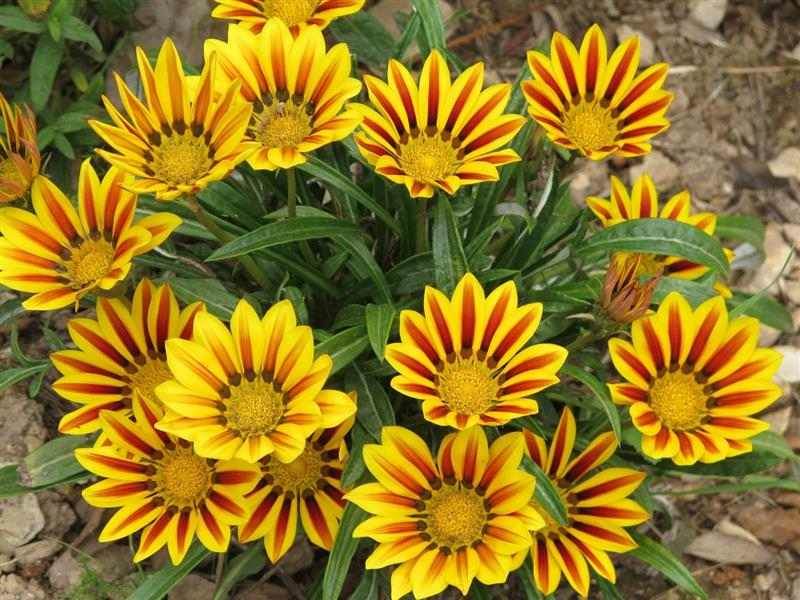 Gazânia ou flor do tesouro
